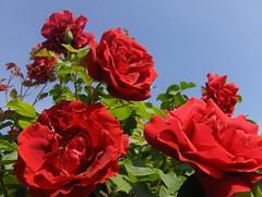 Roses (Joe Shlabotnik) Tags: flowers roses france myfave 2007 faved flowersadminfave april2007 montignylegannelon myphotoseverywhere heylookatthis