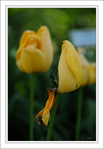 yellow half tulip 2