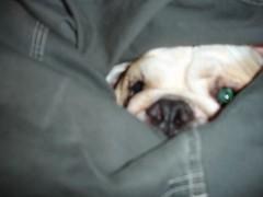 crotch shot (amy_kearns) Tags: nigel english bulldog crotch erickearns nj bully ball pet dog amykearns