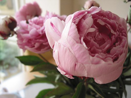 Peonies by Ecritures.