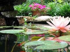 Sunbathing (pauly...) Tags: flowers reflections pond watergarden lilies waterlilies watergardens frogs amiko ponds ranas
