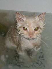 scratch (sam b-r) Tags: cat bath kitten sambrimages