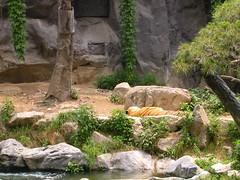 whitetiger2 (Cazhole) Tags: seoul everland animals zoo lions bears feeding