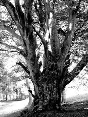 Beech Tree, black and white (rebel rebel) Tags: blackandwhite tree beech woods bw