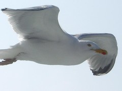 seagull03 (spanier) Tags: seagull gull wind ferry sea fly flying lee animal animals bird birds