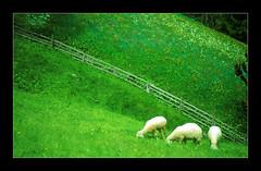 Hungry Sheep (Walter Quirtmair) Tags: 2005 film fence austria spring sheep meadow favme tyrol swq takenbywalter stubai eos300