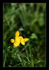 Zapatinos de la virgen (·GeorG·) Tags: flor flower amarillo yellow hierba grass verde green naturaleza nature lafotodelasemana macros lfsmacros