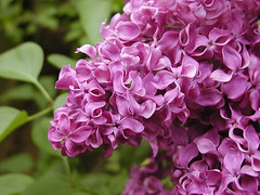 French Lilac Detail