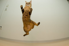 DSC_1278 (junku) Tags: cats matrix cat fun jump jumping nikon kitten d70 fisheye kitties top20hallfame  kin  topi  flickys sigma15mmf28exfisheye excellenceinsets airbornecat airbornecats