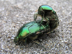 Rose chafers mating (Roger B.) Tags: rosechafer cetoniaaurata beetle insect mating chafer ilovenature