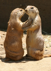 Prarie Dog Love (Thomas Hawk) Tags: two topf25 animal animals ilovenature zoo topv333 fav50 10 fav20 fav30 sweety sanfranciscozoo prariedog prariedogs fav10 fav25 fav40 fav60 superfave