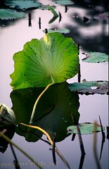Lotus Leaf (laurenz) Tags: china travel plants topf25 water topv111 photography asia asien 500v20f lotus topc50 beijing zen top20nature asie summerpalace 525fav 110fav peking laurenz sorryevaluation longtimeexposure travelphotography mypersonalfavourite lotos lbobke