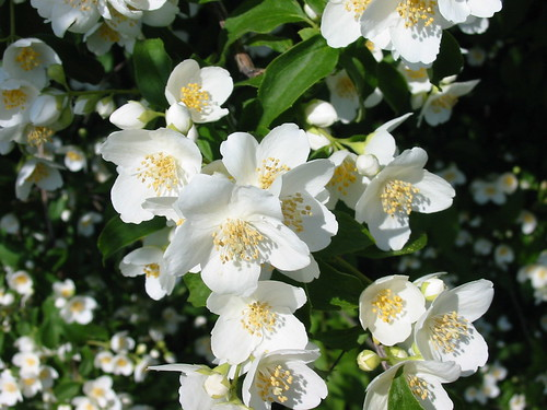 Jasmine_flowers_190605_kpjas