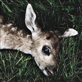 Dead baby deer