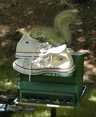 """These sure don't smell like acorns."" (highchucker) Tags: chucks hightops con sneakers allstars chucktaylors sneaks squirrels smell aroma stinky smelly silly squirrely converse"