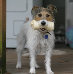 So Proud of Herself (danakay) Tags: dogs goofy jrt allie 200views bone 510favs 1025favs creamofthecrop urfavspets jackrussellterriers 300v
