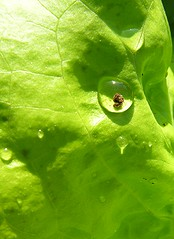 Enclosed (:Linda:) Tags: sun reflection green germany garden thringen waterdrop village vegetable thuringia lettuce grn sonne salat sonnenstrahlen wassertropfen tropfen enclosed thuringian trpfchen birdseyeview hildburghausen brden grnersalat