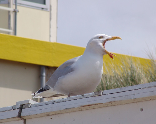 Seagull shouting