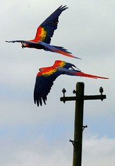 Flying Macaws - by cenz