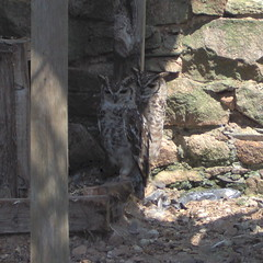 Abyssinian spotted eagle owl... (ANDI2..) Tags: worldowltrust owl prey bird muncaster cumbria