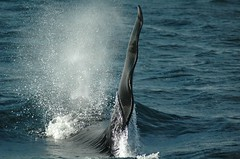 Male Orca (mikegrace78) Tags: orca itsongselection1 itsongnikond70 oceanswildlife