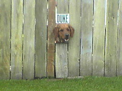 Duke has his own fence hole (mathowie) Tags: s700i moblog duke dog fence