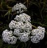 Yarrow (:Linda:) Tags: summer white flower nature june germany whiteflower flora village blossom thuringia yarrow blume wildflower herb bird´seyeview schafgarbe wildblume weiseblume
