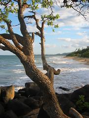 Tree and Beach (pfly) Tags: hawaii kauai sea beach