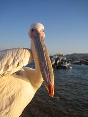 IMG_0163 (Eliya) Tags: bird animal pelican mykonos pelecanusonocrotalus pelecanus greatwhitepelican easternpelican africanwhitepelican roseatepelican europeanwhitepelican