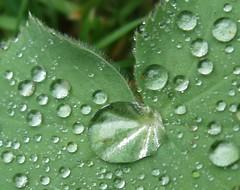 waterdrops ladysmantle