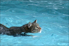 Pepper takes a dip (tschopper (Tom Schopper Photography)) Tags: wet pool swim cat interestingness top20animalpix bravo feline topf300 topf150 topf100 topf200 purrfect topv8888 topf400 topf175 forjuly42005 topv10000 utatafeature specanimal abigfave cat8800