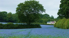 flax seed in the Chilterns (algo) Tags: blue summer field topc25 landscape photography countryside topf50 seasons topv1111 chilterns topv999 fields farms algo 4summer flax halton linseed 50f 507o4