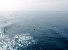 Seagulls (buck82) Tags: japan niigata sadoisland ferry seagulls ocean sea seaofjapan wake waves