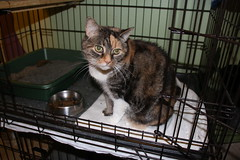 Cats and Kittens at Crafty Cat Rescue (Ann Arbor, Michigan) - Wednesday December 7, 2016 (cseeman) Tags: cats pets craftycatrescue annarbor michigan shelter adoption catshelter catrescue caring animals craftycatphotos12072016 kittens