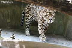 IMG_7691 (pinkystar_84) Tags: natura roar jaguar giaguaro animals animali mammals caccaitore predatore mammifero maculato manto felini pelliccia canon 700d colors colori