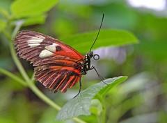 (Abra K.) Tags: butterfly insect saudade ~~ papillon borboleta remembrance farfalla schmetterling vlinder littlefriend romandie papillorama