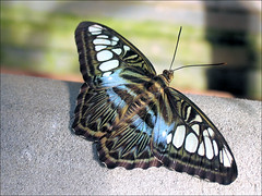 the clipper (Sabinche) Tags: wow butterfly papillon clipper sabinche parthenossylvia