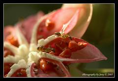 Breakfast at Tiffany (bigbowl78) Tags: up fruit nikon close seeds ants 6t sbwr simpohair sungeibulohsingapore