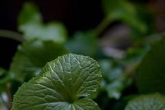 (titanium22) Tags: green nature leaf wasabi