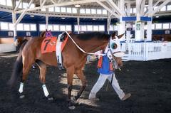 2016-12-02 (8) r3 #7 Tigers Bop (JLeeFleenor) Tags: photos photography md maryland marylandracing marylandhorseracing laurelpark racing track racetrack horses thoroughbreds equine equestrian cheval cavalo cavallo cavall caballo pferd paard perd hevonen hest hestur cal kon konj beygir capall ceffyl cuddy yarraman faras alogo soos kuda uma pfeerd koin حصان кон 马 häst άλογο סוס घोड़ा 馬 koń лошадь paddock outside outdoors