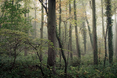 Autumn Fog (Netsrak) Tags: nebel mist fog forest wald woods forst tree trees baum bäume outdoor nature natur eifel rheinbach nordrheinwestfalen deutschland de