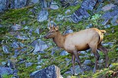 Young Wapiti Male @ Le Parc Omega (Jeannot7) Tags: wapiti elk male parcomega montebello québec
