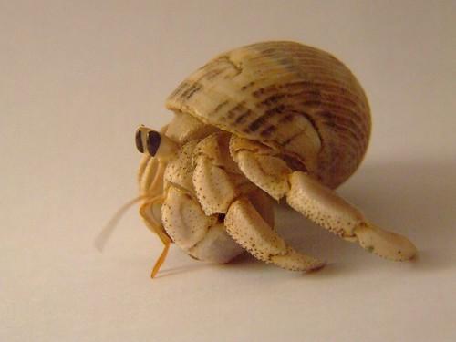 australia land  hermit crab   (Coenobita variabilis)