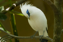the ó_ò endangered Bali Myna...♪ ♫ wildilife from bali ♫ (bocavermelha-l.b.) Tags: quality southchinasea 80200mmf28d criticallyendangered balimynah leucopsarrothschildi ornitologia inbali balimyna r1c1 inindonesia tôôt balistarling threatenedtosurvival nikonr1ttlringlightflash rothschildsmynah r1shootingwithd200 wildlifebali
