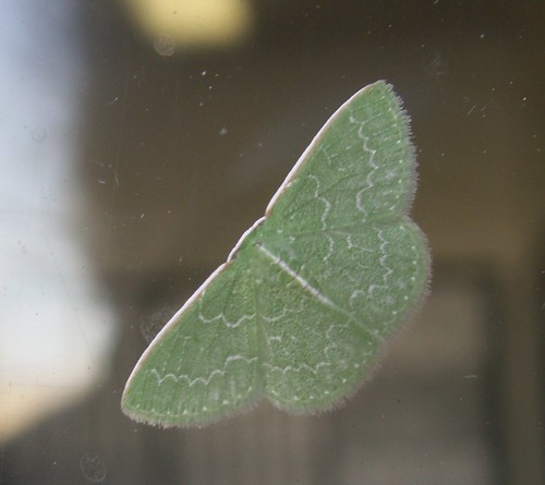 Southern Emerald Moth, Dorsal View