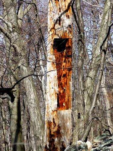 pine snag with doorway