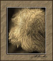 seed-pod (Jill's Junk) Tags: macro photoshop searchthebest seed dandelion flowersfoliage abigfave impressedbyyourbeauty