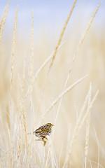 Savannah Substitute (J Gilbert) Tags: newjersey sparrow sandyhook savannahsparrow passerculussandwichensis passercul