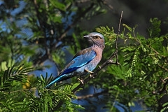 Lilacbreasted roller (Arno Meintjes Wildlife) Tags: africa wallpaper bird nature southafrica bush wildlife safari explore roller predator mammals rsa parkstock interestingness94 i500 specanimal superbmasterpiece beyondexcellence avianexcellence arnomeintjes