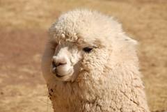 Alpaca in Peru (picaddict) Tags: travelling alpaca peru animal sillustani abigfave p1f1 peruvianimages